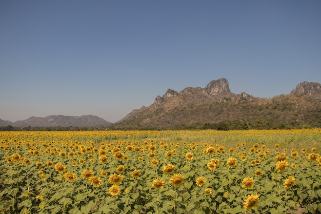 フィールドの太陽の花。美しい太陽の花の背景。