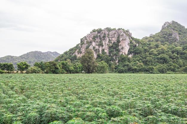 キャッサバ植物の緑の野原と山。マニホトエスクレンタ