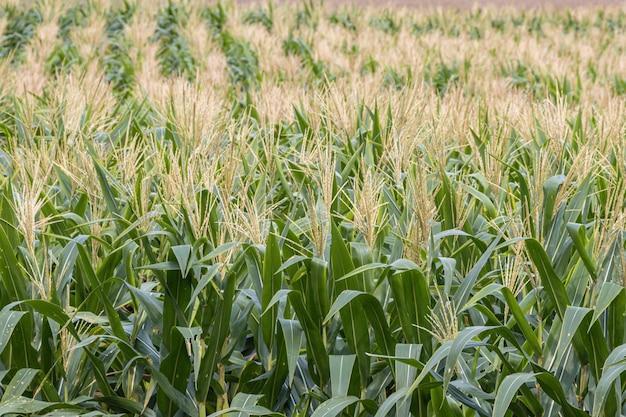 農業分野での有機トウモロコシ畑。収穫前の美しい緑の野原。