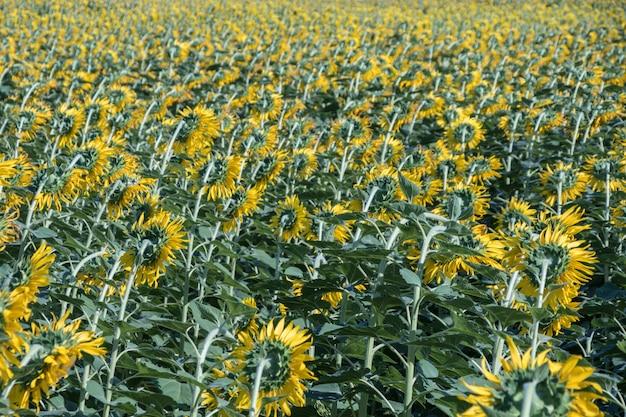 野原の美しい黄色い花。