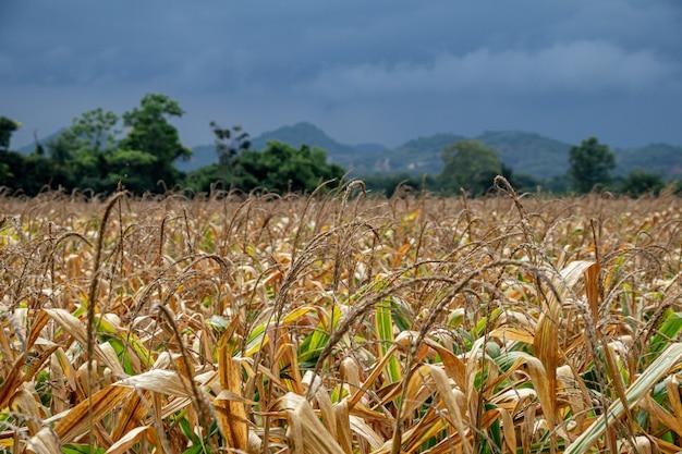 Красивое кукурузное поле.