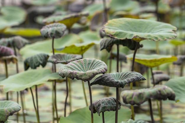 池の背景に緑の葉の蓮。