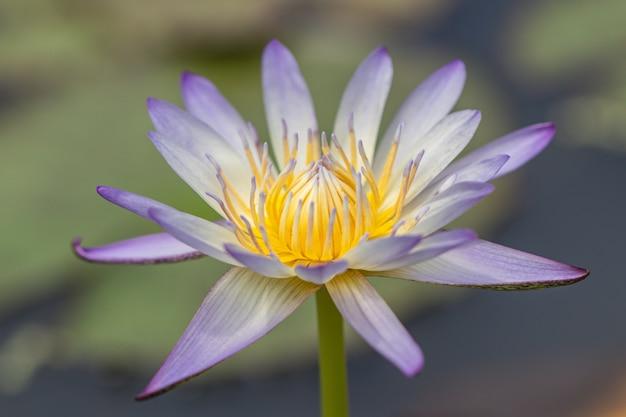 Красивая фиолетовая водяная лилия или цветок лотоса. священный лотос, боб индии или просто лотос.