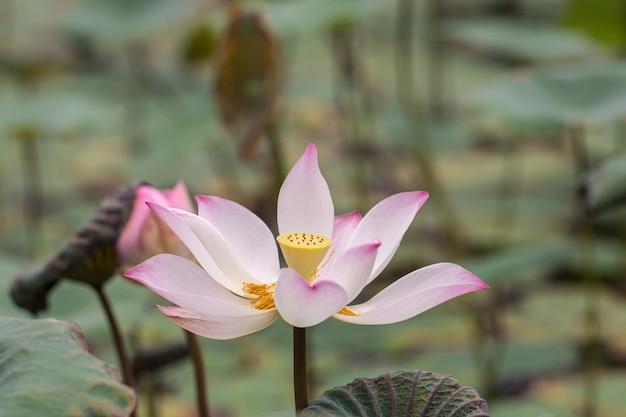 美しいピンクのスイレンまたは蓮の花。また、名前インドロータス、神聖なロータス、インドの豆または単にロータスを含む。