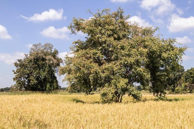 木、緑の田んぼ、空の背景。