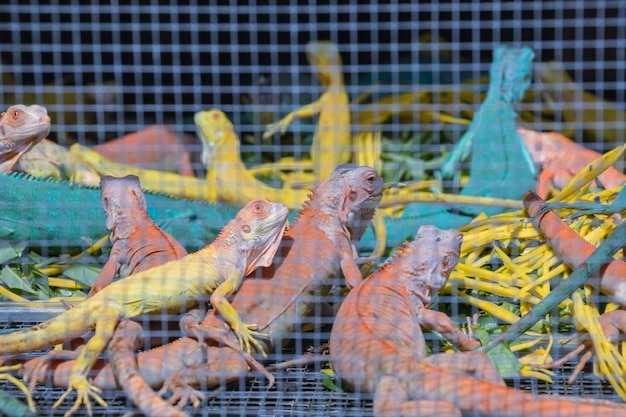 ケージのカラフルな爬虫類両生類の動物のトカゲ。