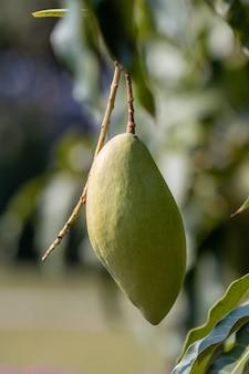 Крупный план манго вися на дереве. свежий плод манго на дереве манго.