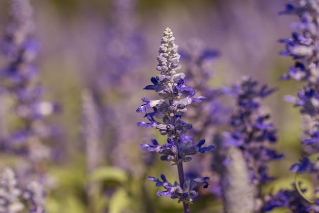 庭の青いサルビアの花。庭の美しい紫色の花。セレクティブフォーカスの花。セージの花。