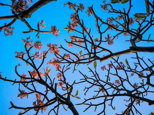 セレクティブフォーカスピンクのプルメリアの花と青い空。美しいプルメリアの花の背景。
