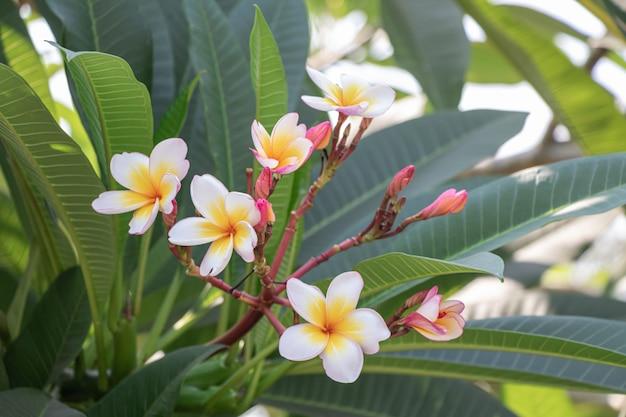 庭のセレクティブフォーカスピンクプルメリアの花。