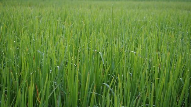 朝の緑の稲の木