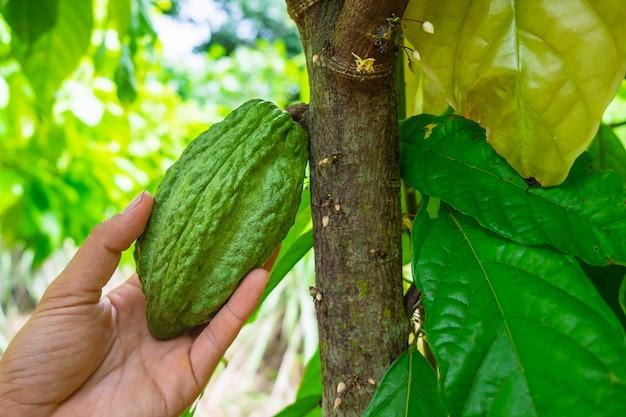 カカオの木からの新鮮な生のココアフルーツ
