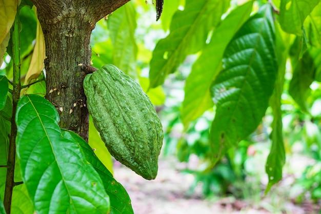 Свежие сырые плоды какао из дерева какао