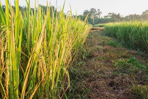 収穫を待っている熟成成長をもたらすイネ植物を閉じる