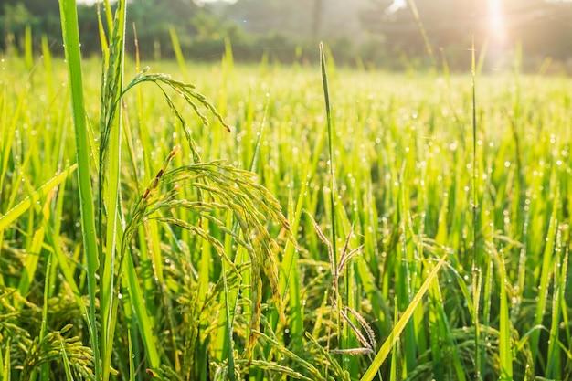 Крупный план рисовых растений: созревание урожая в ожидании урожая