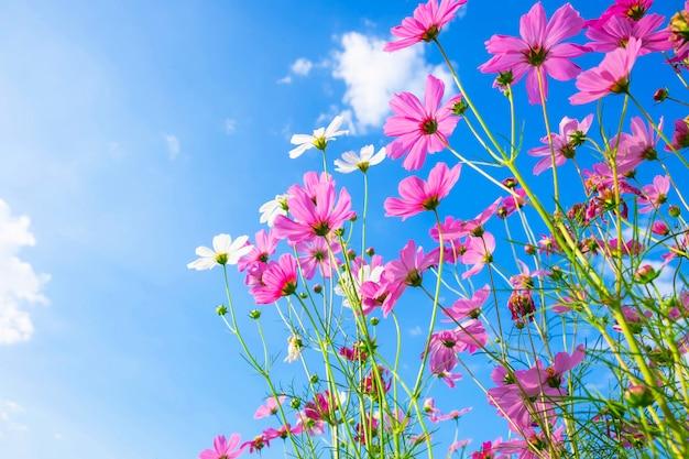 コスモスの花の背景と青空