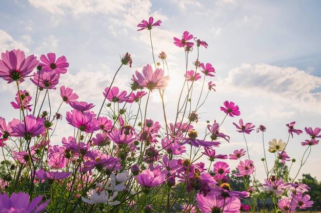 コスモスの花と青い空