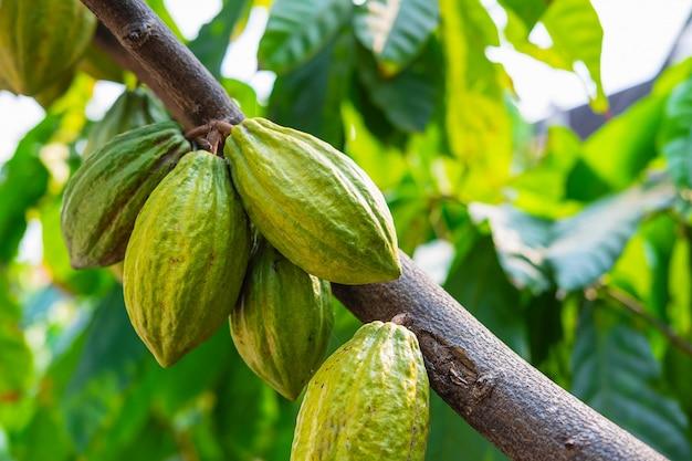 ココアの木からの新鮮なココアフルーツ