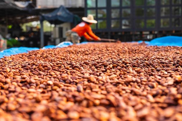 農場で天日乾燥オーガニックカカオ豆