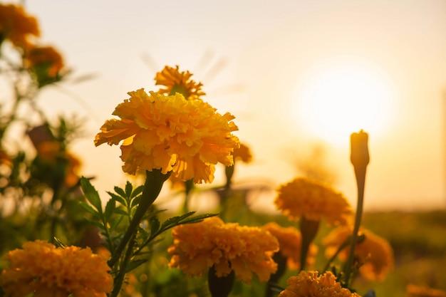 マリーゴールドの背景と夕日