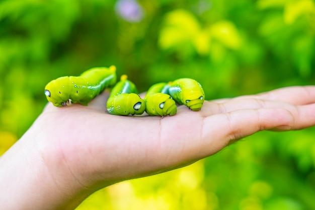 Много зеленых червей в руке