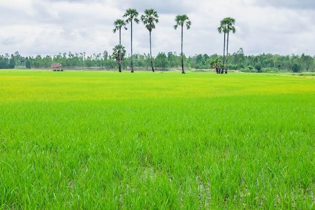 Рисовые поля покрыты дождевыми облаками