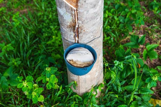 ゴムの木からの天然ゴムラテックス