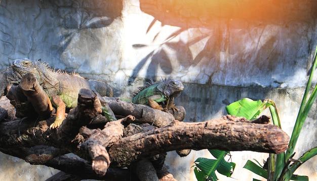 緑色の巨大トカゲ