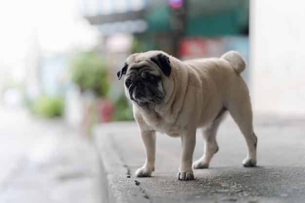 Смешная собака-мопс