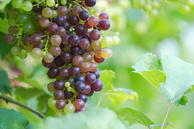 Виноградник со спелым виноградом в сельской местности, фиолетовый виноград висят на корню