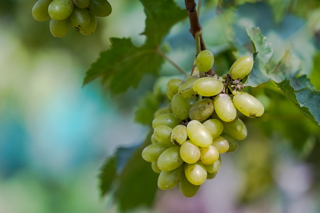 Виноградник с белым вином в сельской местности, на виноградной лозе висят солнечные гроздья винограда