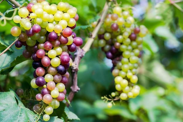 Виноградник с белым вином в сельской местности
