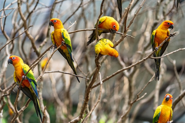 美しいカラフルな太陽コニュアオウム鳥