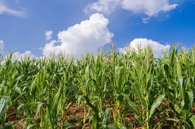 青い空の下のトウモロコシ畑