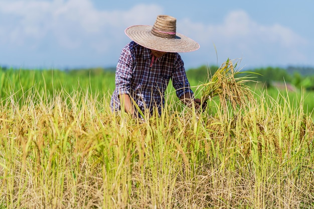 青空の下で田んぼで働くアジアの農家