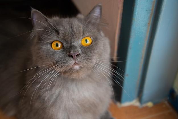 ペルシアの灰色の猫の顔と黄金の目の焦点は、恐れて、恐れている、恐怖です。
