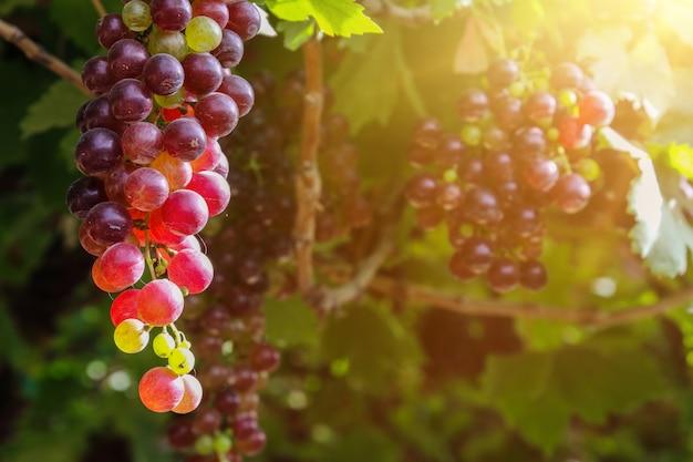 秋の収穫の夕暮れ時のブドウ園