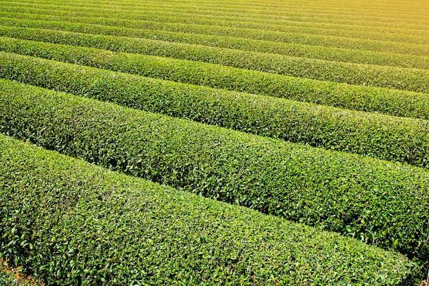Чайные плантации расположены красивыми рядами