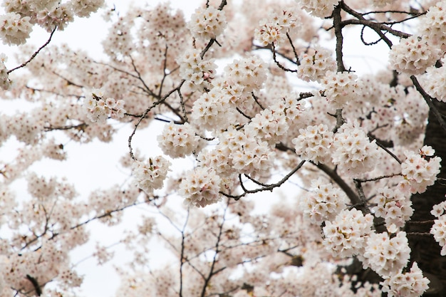 美しい桜。日本の桜の花。春の時間を旅行します。