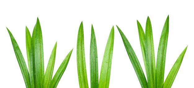 Свежие зеленые листья пандана с каплями воды изолированы