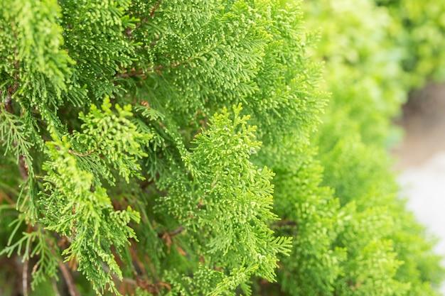 松の木、夏の自然の背景の緑の葉を閉じる