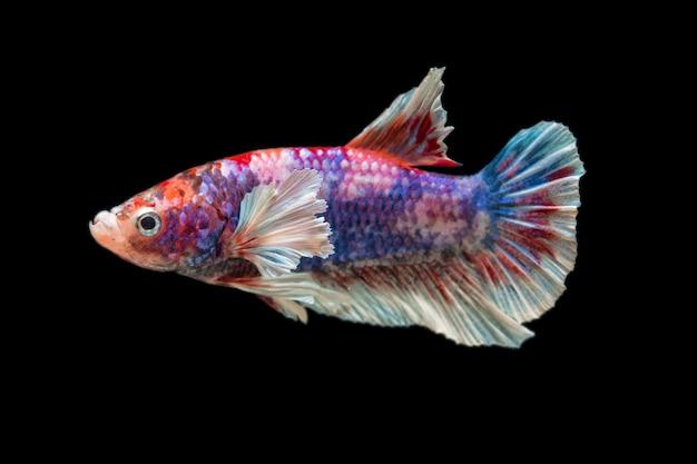 Крупным планом красивые действия бетта рыбы