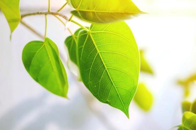白の日光と新鮮な菩提の葉のクローズアップ