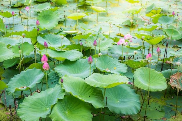 静かで静かな田園地帯の湖の中のアジアの蓮の池の風景。