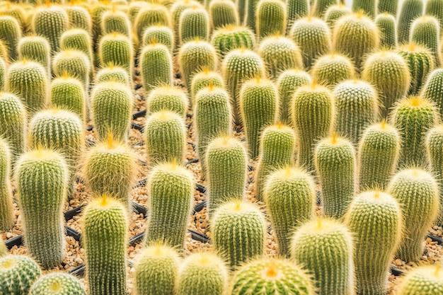 サボテンは、植え付けのための鉢の中の多くの変種を選択してソフトフォーカスに配置します。