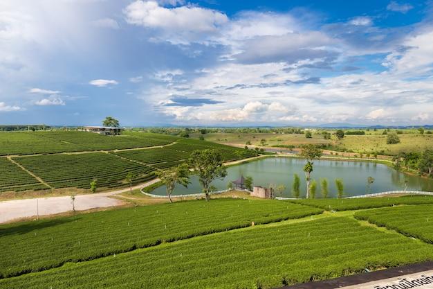 朝のチーフォンテラス茶畑、メーサロン山、チェンライ、タイ。