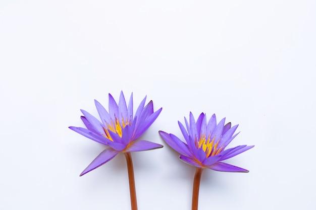白い背景の上に咲く紫色の蓮の花