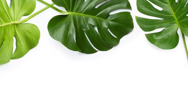 白い背景のモンステラ植物の葉