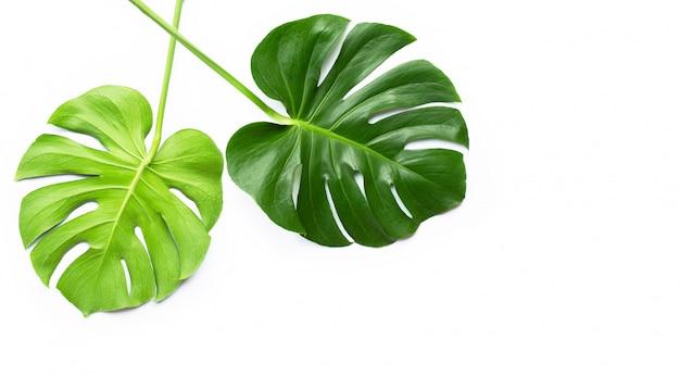 白のモンステラ植物の葉