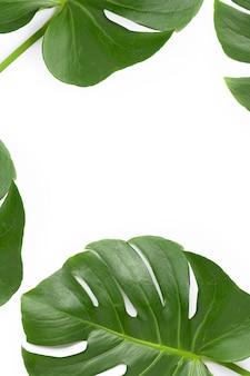 Листья растения монстера на белом фоне